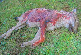 lupo ucciso a fucilate alle porte del parco, nella Marsica