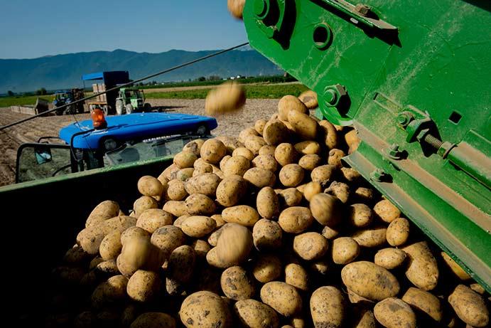 patate fucino